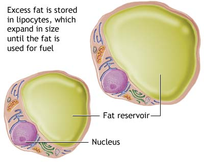Fatcell